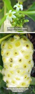 Morinda Citrifolia flower and fruit