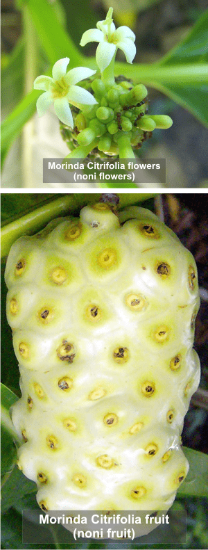 Morinda Citrifolia flower and fruit