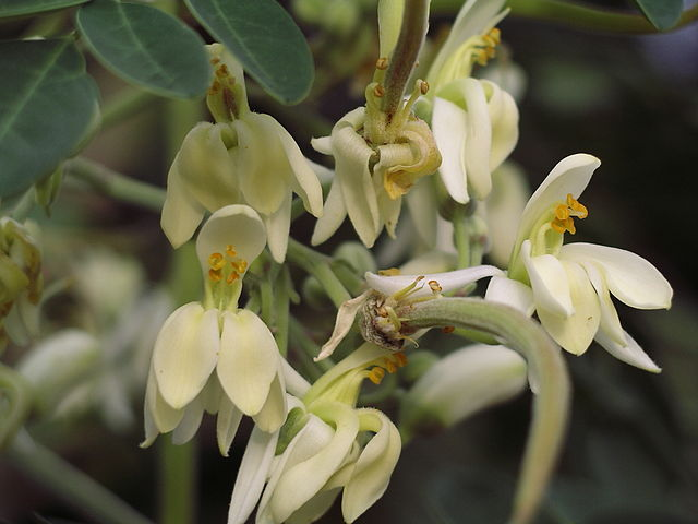 flowers of moringa tree