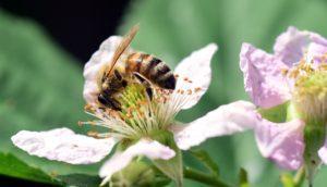 Blackberry flower and honeybee