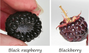 the difference between black raspberries and blackberries