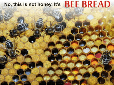 'bee bread is better and healthier than bee pollen' from the web at 'http://healthywithhoney.com/wp-content/uploads/2017/10/difference_between_bee_bread_and_bee_pollen-min.png'