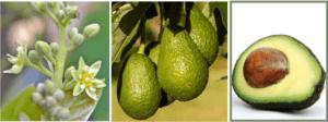 avocado flower and fruit