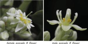 female and male avocado