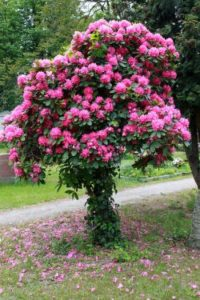 is rhododendron honey toxic?
