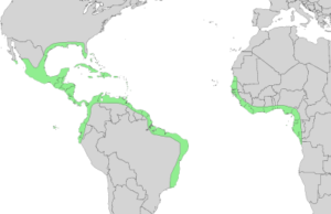 black mangrove distribution in the world