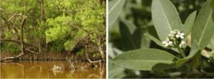 black mangrove trees