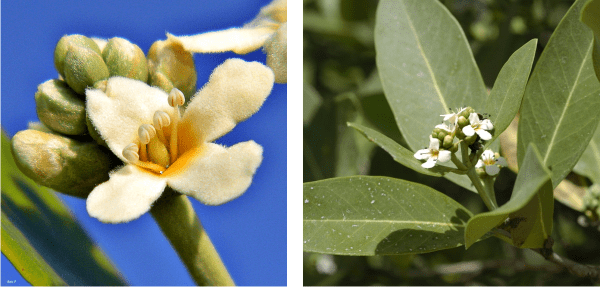 flowers of black mangrove