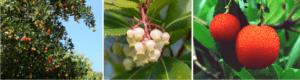 how is strawberry tree honey
