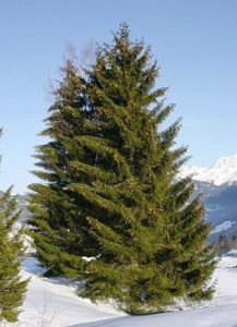where is spruce honey coming from