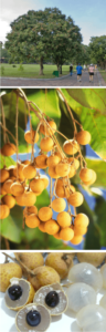 what is longan honey good for