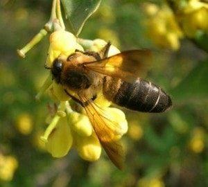 apis laboriosa bee
