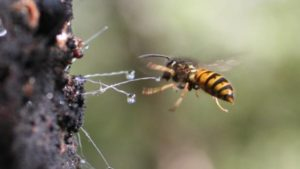 wasp steel the honeydew from honey bees