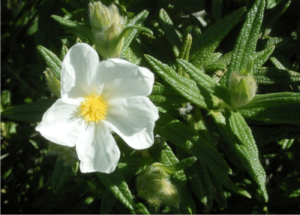 in tunisisa propolis is made from cistus leaves