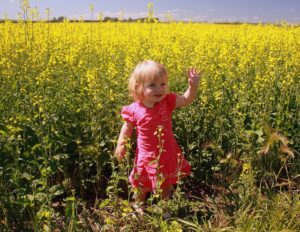 beware of bees while taking pictures in canola fields
