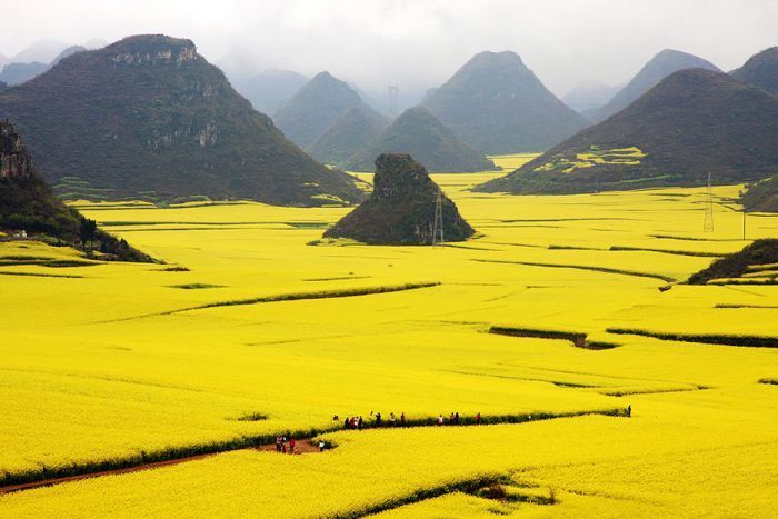 rape field in China