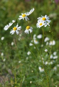 camomile is good for respiratory problems