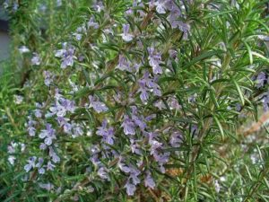 rosemary honey isgood for respiratory problems