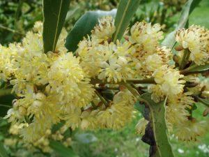 laurel honey is good for respiratory problems
