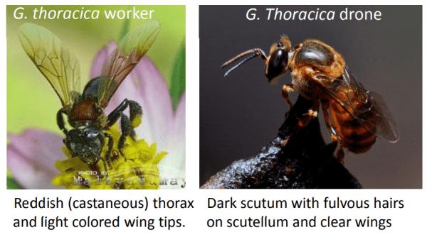 trigona thoracica the stingless bee from Malaysia that makes kelulut honey
