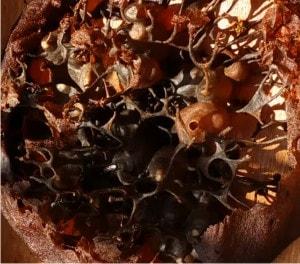 trigona hive