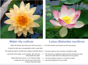 differences between water lilies and lotus