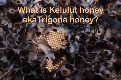 what is trigona honey or kelulut honey