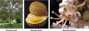what is durian