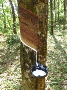 how is latex collected from rubber trees