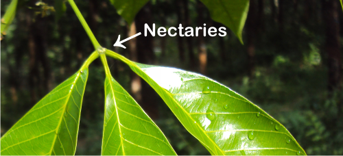 nectaries on the rubber tree