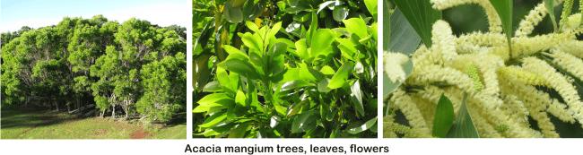 acacia mangium honey