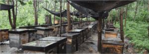 harvesting acacia mangium in Borneo rainforest