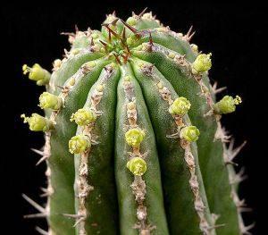 Euphorbia echinus honey