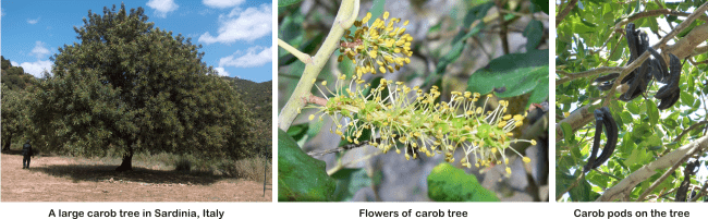carob tree trunk, leaves and flowers