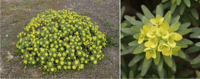 Euphorbia regis-jubae produces spurge honey