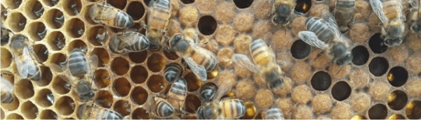what bees live in sahara