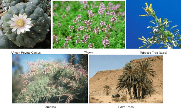 what plants grow in sahara