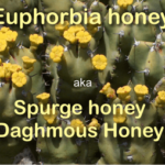 what is spurge honey