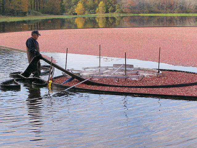 how are cranberries harvested