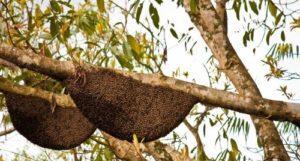 tualang honey aka rainforest honey are made by apis dorsata giant bees