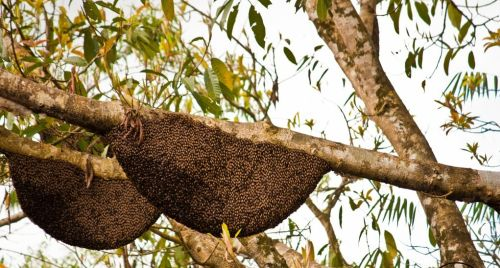 tualang honey aka rainforest honey are made by apis dorsata giant bees