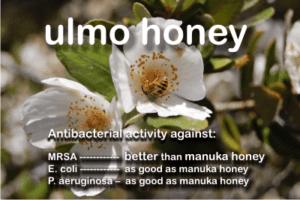 fresh ulmo honey from Chile kills MRSA better than manuka honey UMF25+