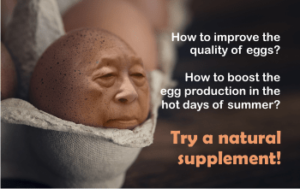 increase egg production in the summer