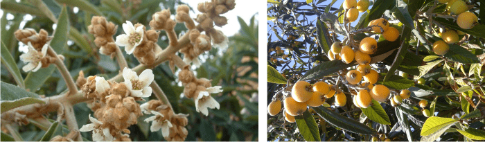 what is loquat honey
