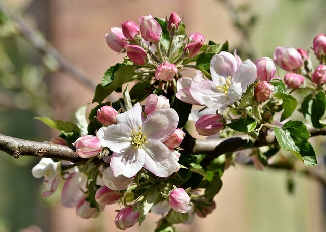 apple flowers make a tasty apple honey