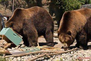 why do bears eat honey