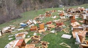 bears eat honey and destroy the hive despite bees stinging them
