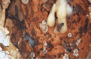 olibanum honey and propolis