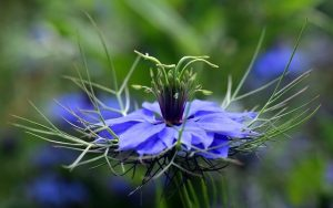 the black seeds nigella sativa help prevent covid infection